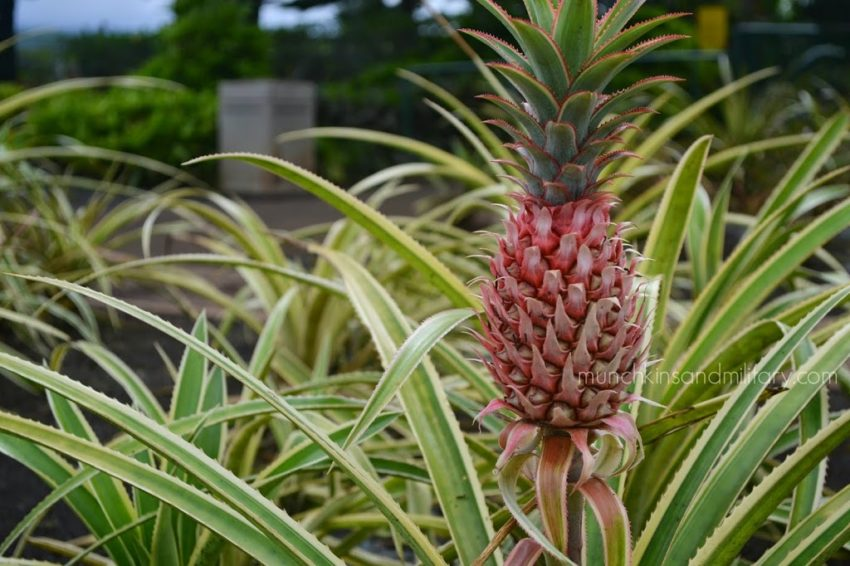 Dole Pineapple Plantation - Oahu - Pineapple growing above ground