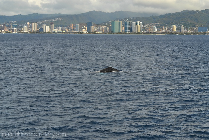 Humpback whale, Waikiki, Oahu, Hawaii