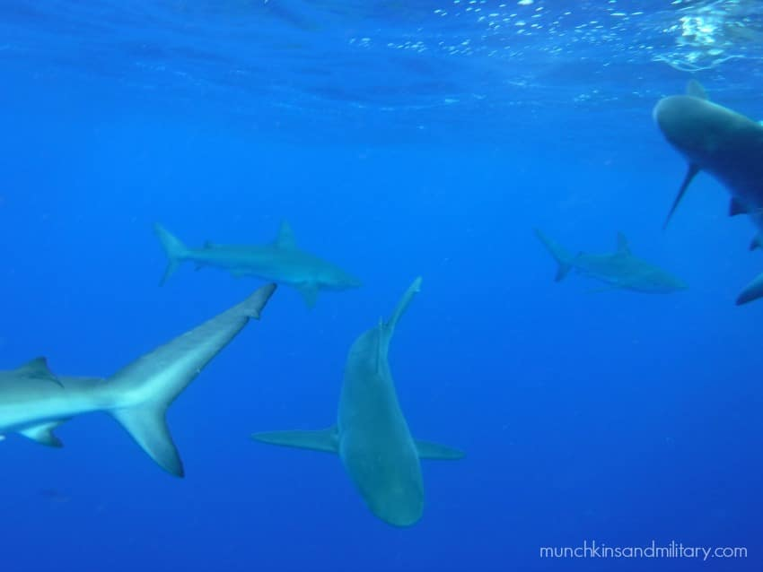 Swimming with Sharks off of Oahu's North Shore