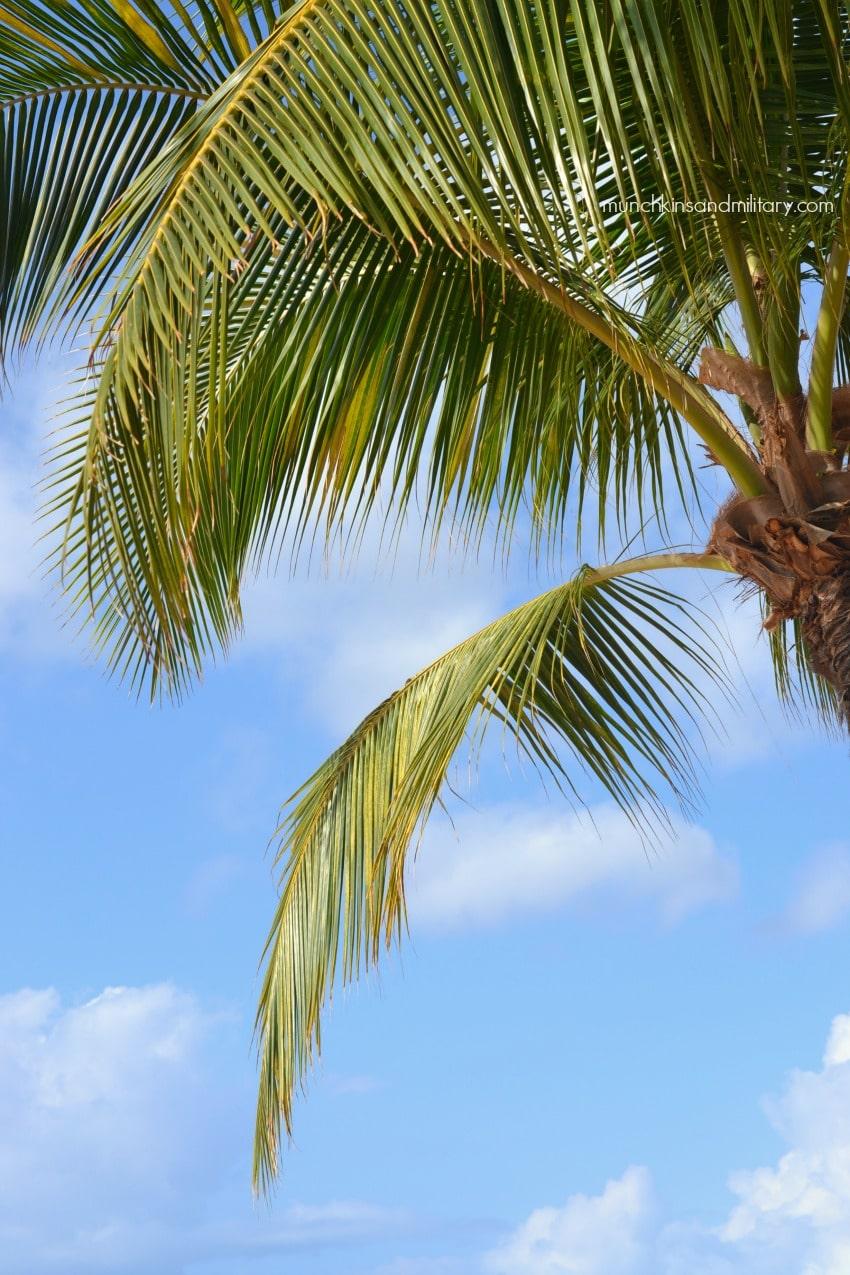 lanai-palm