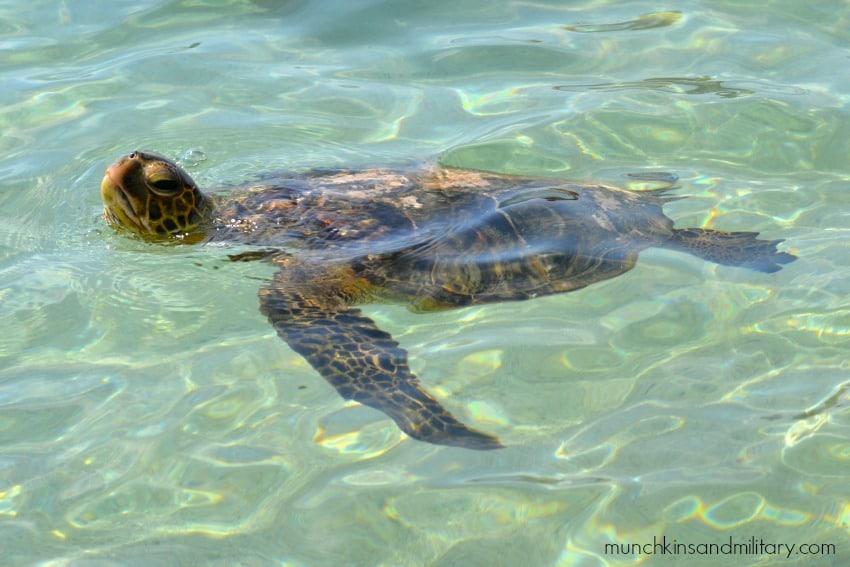 Sea turtle swimming by! [Hawaii]