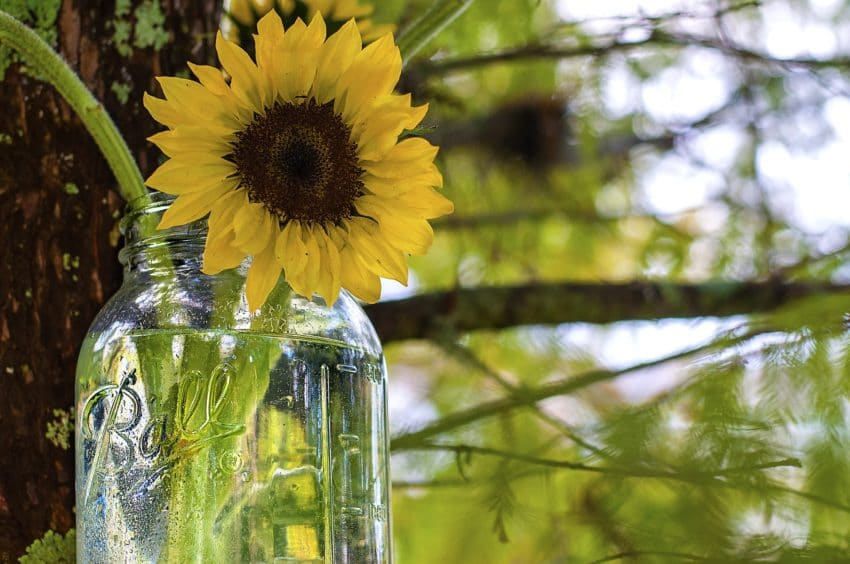 sunflower-985376_1920